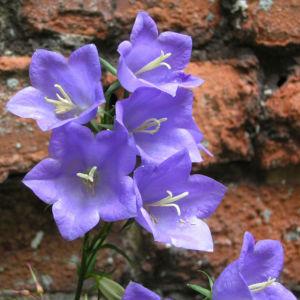 Glockenblume Bluete blau Campanula rotundifolia 10