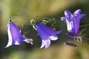 Glockenblume Bluete blau Campanula 01