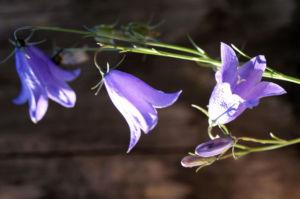 Glockenblume Bluete blau Campanula 03