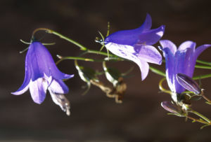 Glockenblume Bluete blau Campanula 05