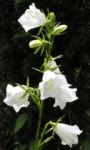 Glockenblume Bluete weiss Campanula persicifolia 05