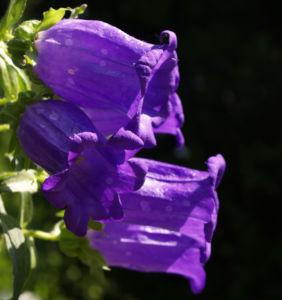 Glockenblume Brantwood Bluete tiefviolett Campanula latifolia 01