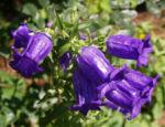 Glockenblume Brantwood Bluete tiefviolett Campanula latifolia 02