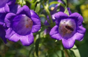 Glockenblume Brantwood Bluete tiefviolett Campanula latifolia 03