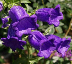 Glockenblume Brantwood Bluete tiefviolett Campanula latifolia 04