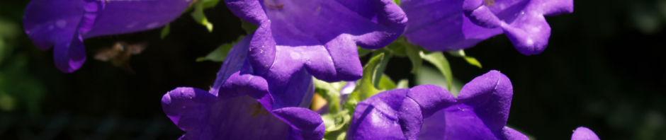 Anklicken um das ganze Bild zu sehen Breitblättrige Glockenblume Blüte dunkelviolett Campanula latifolia