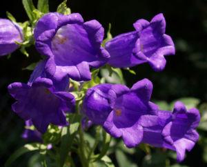Glockenblume Brantwood Bluete tiefviolett Campanula latifolia 07