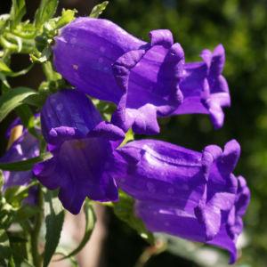 Glockenblume Brantwood Bluete tiefviolett Campanula latifolia 09