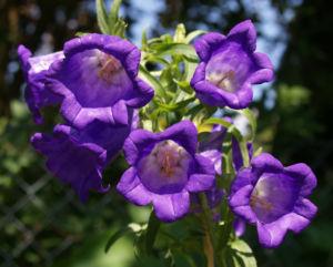 Glockenblume Brantwood Bluete tiefviolett Campanula latifolia 10