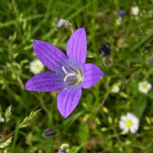 Glockenblume blau klein wild Campanula 01