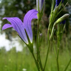 Glockenblume blau klein wild Campanula 03