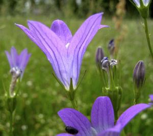 Glockenblume blau klein wild Campanula 04