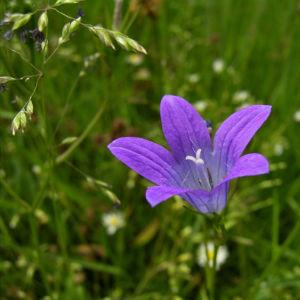 Glockenblume blau klein wild Campanula 05