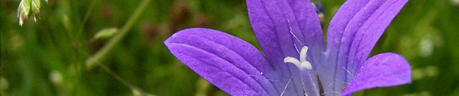 glockenblume-blau-klein-wild-campanula