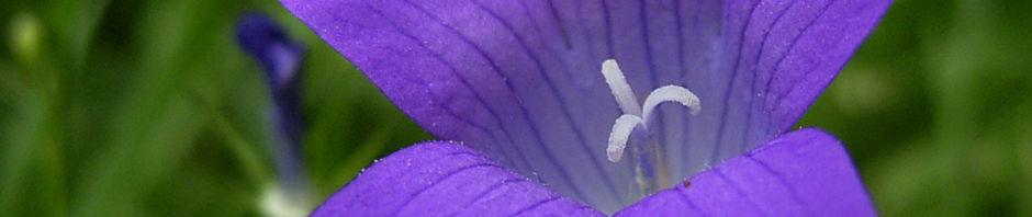 Anklicken um das ganze Bild zu sehen Glockenblume blau klein wild Campanula