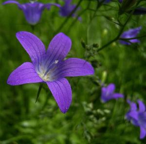 Glockenblume blau klein wild Campanula 07