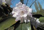 Glockenbumenartige Alpenrose Bluete weiß Rhododendron campanulatum 03