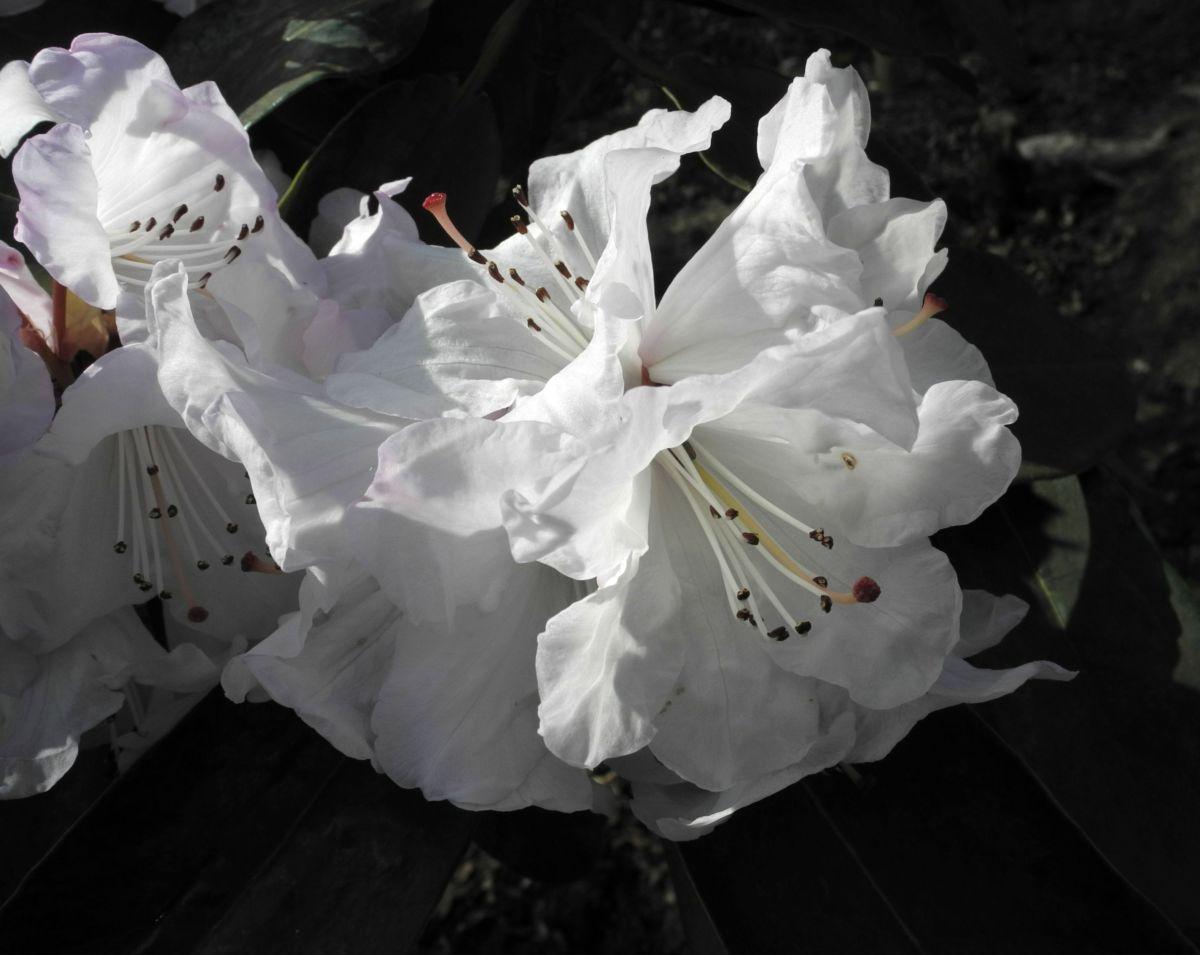 Glockenbumenartige Alpenrose Bluete weiß Rhododendron campanulatum