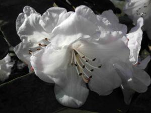 Glockenbumenartige Alpenrose Bluete weiß Rhododendron campanulatum 06