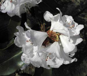 Glockenbumenartige Alpenrose Bluete weiß Rhododendron campanulatum 07