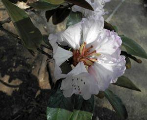 Glockenbumenartige Alpenrose Bluete weiß Rhododendron campanulatum 11