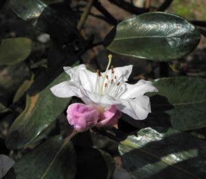 Glockenbumenartige Alpenrose Bluete weiß Rhododendron campanulatum 14