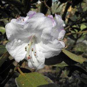 Glockenbumenartige Alpenrose Bluete weiß Rhododendron campanulatum 15