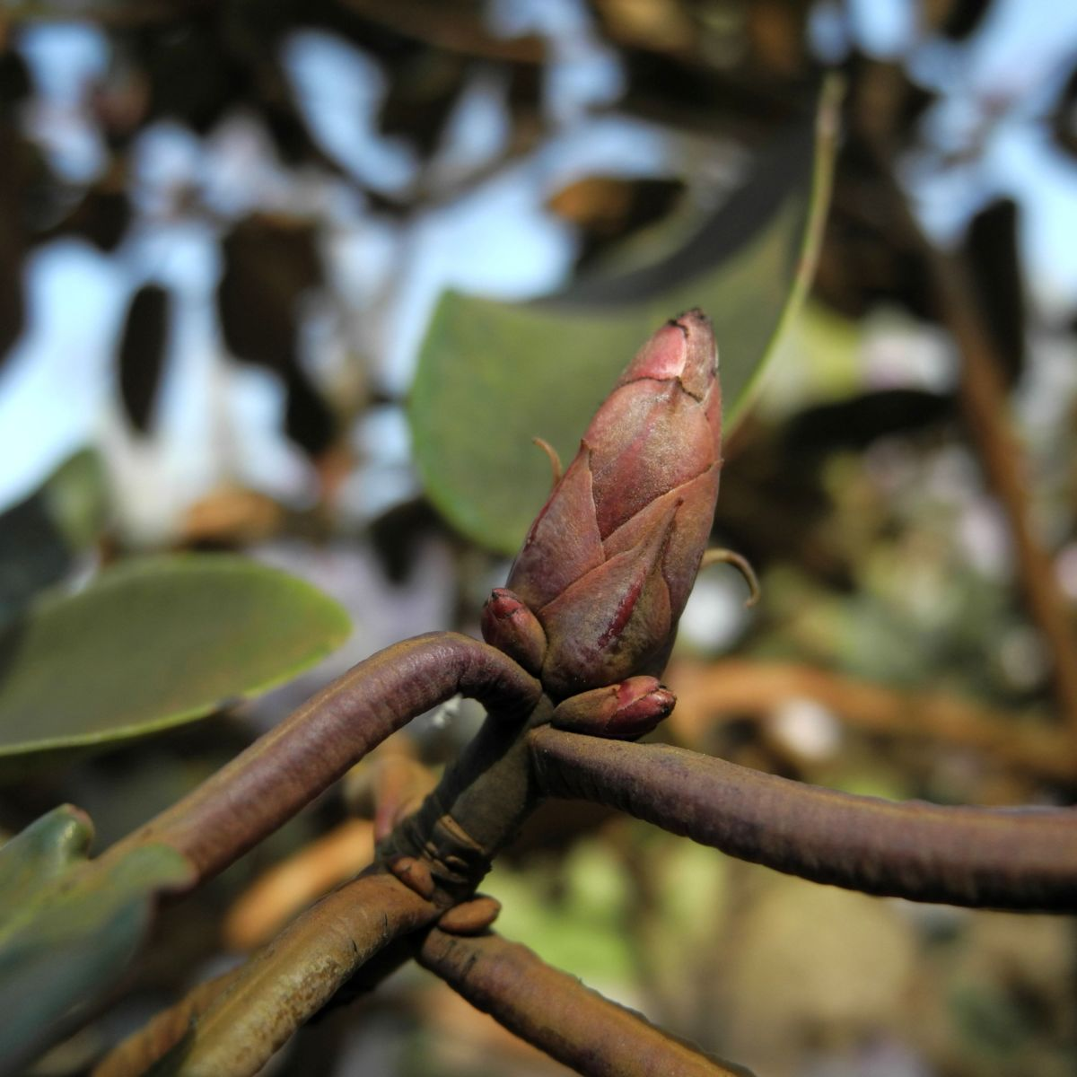 Glockenbumenartige Alpenrose Knospe Rhododendron campanulatum