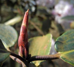 Glockenbumenartige Alpenrose Knospe Rhododendron campanulatum 04