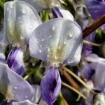 Glyzinie Blauregen Bluete weiss blau Wisteria sinensis 01