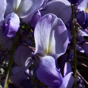 Glyzinie Blauregen Bluete weiss blau Wisteria sinensis 07