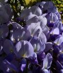Bild: Glyzinie Blauregen Blüte weiß blau Wisteria sinensis