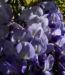 Zurück zum kompletten Bilderset Glyzinie Blauregen Blüte weiß blau Wisteria sinensis