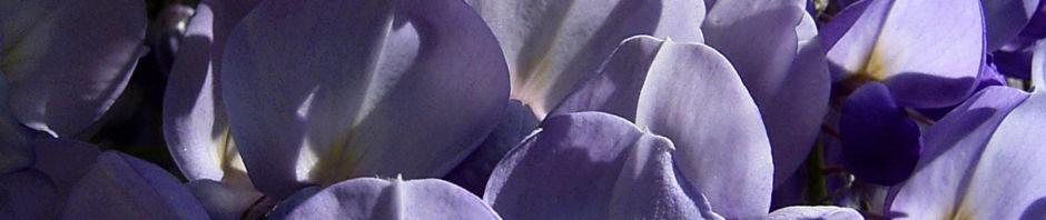 glyzinie-blauregen-bluete-weiss-blau-wisteria-sinensis