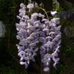 Glyzinie Bluetendolde Wisteria sinensis 04