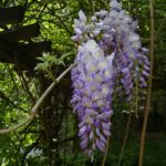 Glyzinie Bluetendolde Wisteria sinensis 05