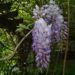 Zurück zum kompletten Bilderset Chinesischer Blauregen Glyzinie Blütendolde weiß blau Wisteria sinensis