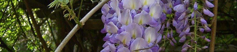 Anklicken um das ganze Bild zu sehen Chinesischer Blauregen Glyzinie Blütendolde weiß blau Wisteria sinensis
