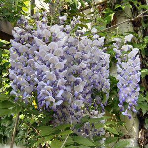 Glyzinie Bluetendolde Wisteria sinensis 06