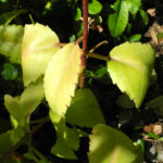 Goethe Pflanze Blatt gruen Kalanchoe pinnata 01