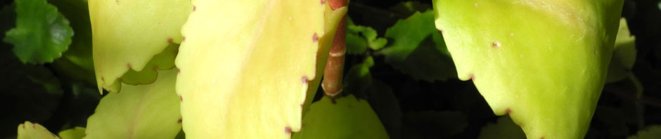 goethe-pflanze-blatt-bluete-rot-weiss-kalanchoe-pinnata