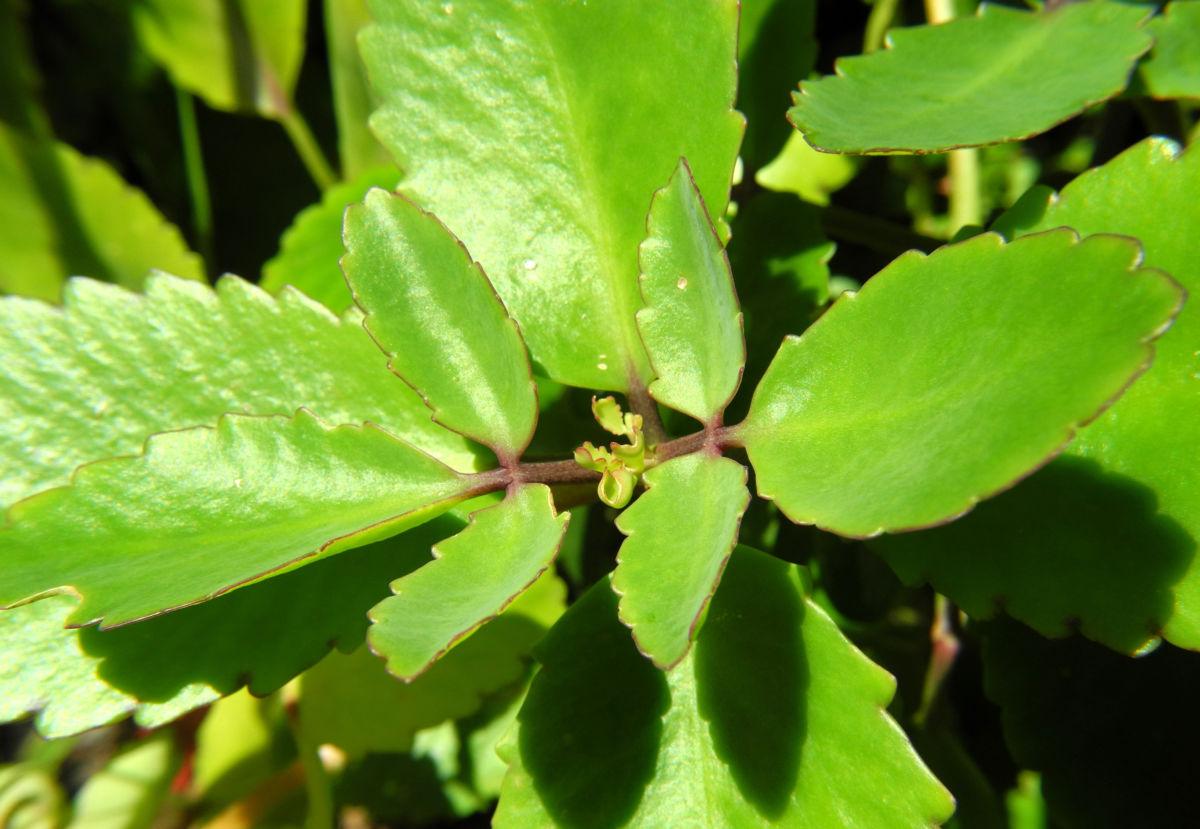 Goethe Pflanze Blatt gruen Kalanchoe pinnata