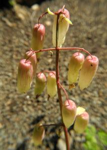 Goethe Pflanze Bluete weiß rose Kalanchoe pinnata 05
