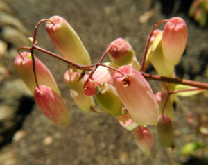 Goethe Pflanze Bluete weiß rose Kalanchoe pinnata 09