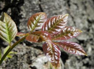 Goetterbaum Blatt gruen Ailanthus altissima 06
