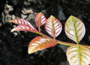Goetterbaum Blatt gruen Ailanthus altissima 07