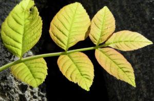 Goetterbaum Blatt gruen Ailanthus altissima 10
