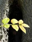 Goetterbaum Blatt gruen Ailanthus altissima 11