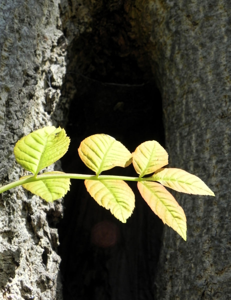Goetterbaum Blatt gruen Ailanthus altissima