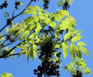 Goetterbaum Blatt gruen Ailanthus altissima 12
